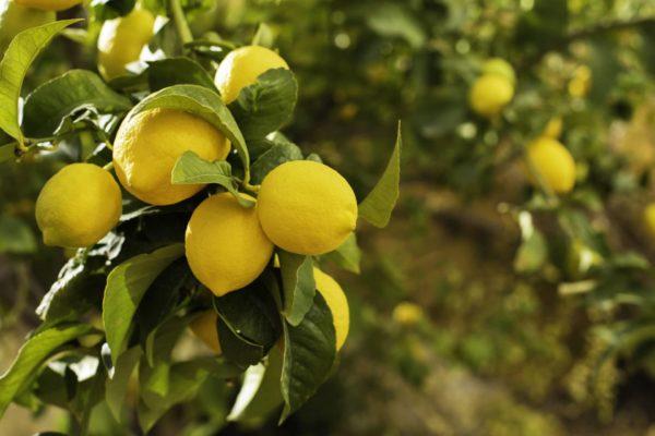 Zitronen am Baum zur Gewinnung von Zitronenöl gelb bio