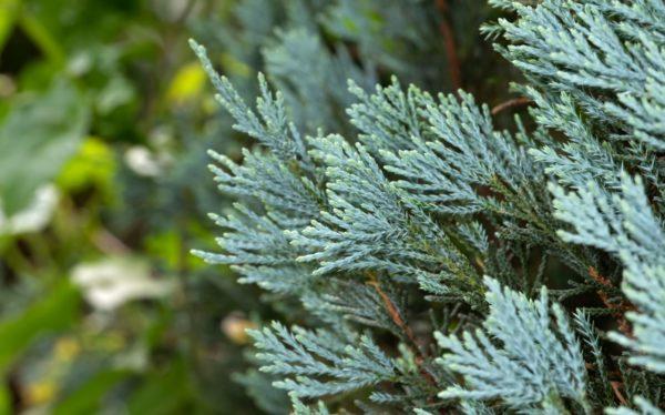 blaue Zypresse zur Gewinnung von Zypresse blau ätherisches Öl