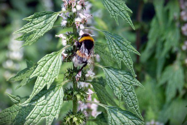 Biene auf Brennnessel zur Gewinnung von Brennnessel absolue 100% (ätherisches Öl)