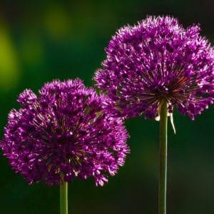 Blühender Lauch zur Gewinung von Lauch (Porree) ätherisches Öl