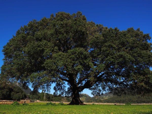 Camphor tree zur Gewinnung von Ho-Holz Öl (ätherisches Öl)