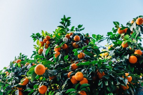 Clementinen am Baum zur Gewinnung von Petit Grain Clementine bio