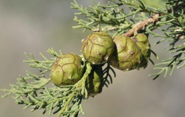 Cuprus sempervirens zur Gewinnung von Zypresse grün Holz bio