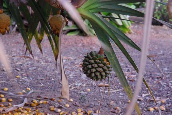 Pandanus-screw-pine zur Gewinnung von Pandanus 100% ätherisches Öl
