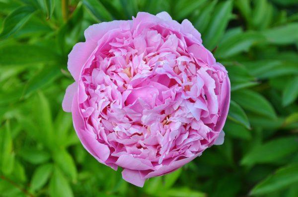 Rosa Damascena zur Herstellung von Rose Ägypten absolue 20% (Alkoholverdünnung)