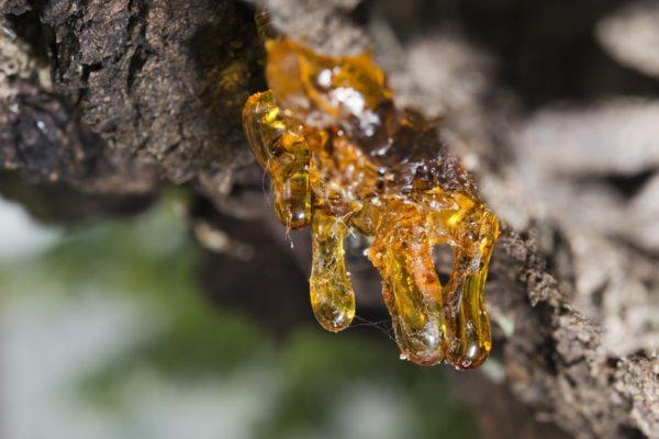 Harz zur Gewinnung von Styraxöl (ätherisches Öl Styrax)