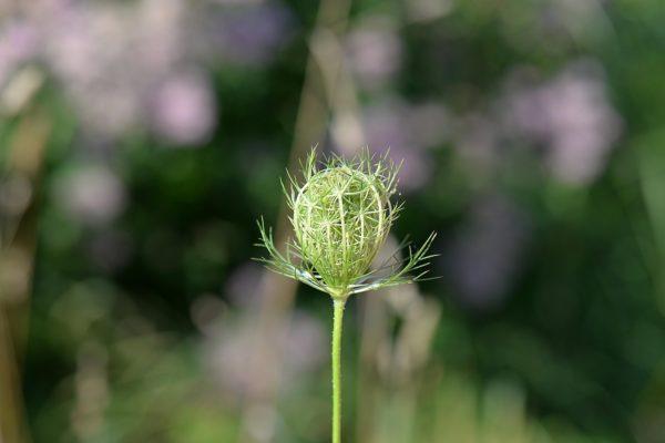 Wild wachsende Kümmelpflanze zur Gewinnung von Kümmelöl bio (Feldkümmel bio)