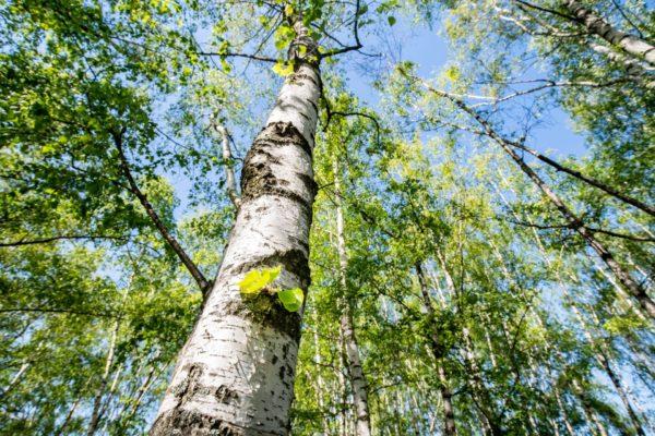 Birken erfrischen und beleben. Zur Gewinnung von Birkenwasser bioi (Birkenhydrolat)