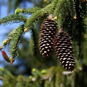 Picea albies Fichtenzweig mit Frucht zur Gewinnung von Fichtenwasser bio (Fichtenhydrolat)
