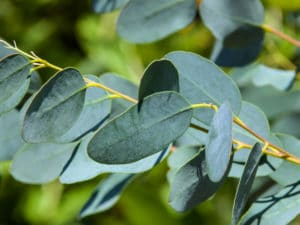 Eukalyptus - Blätter