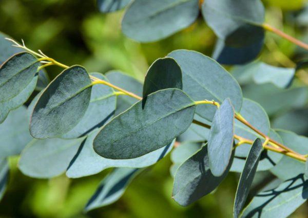 Eukalyptus - Blätter zur Gewinnung von Eukalyptusöl