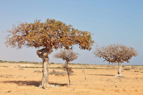 Myrrhe Baum in Somalia
