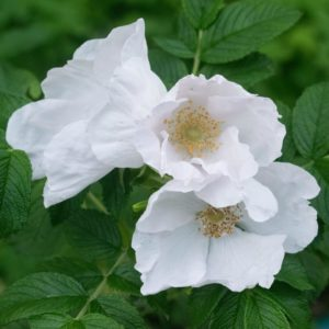 3 weiße Blüten - Rosa alba