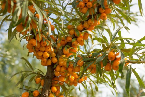 Sanddornfrüchte am Baum zur Gewinnung von Sanddornkernöl bio