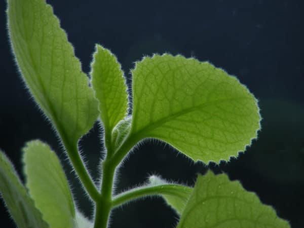 Spanish thyme Thymian zygnis zur Gewinnung von Thymianöl rot bio (Thymus zygis)