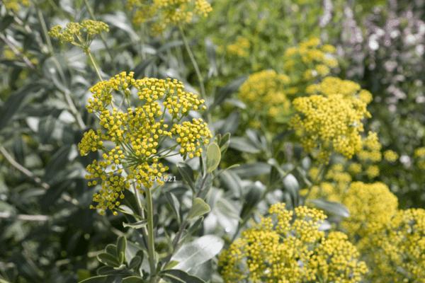 Bupleurum fruticosum zur Gewinnung von Hasenohr bio (Bupleurum fruticosum)