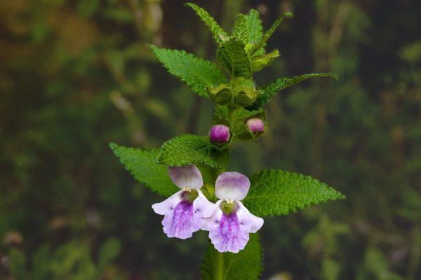 Melisse mit Knospen und Blüten zur Gewinnung von Melisse bio (Melissa officinalis)