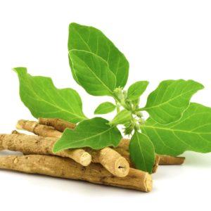 Ashwagandha Wurzeln zur Gewinnung von Ashwagandha 100% naturreinem ätherischem Öl (Withania sonifera)