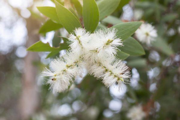 Cajeputzweig mit Blüte zur Gewinnung von Cajeput Öl extra bio