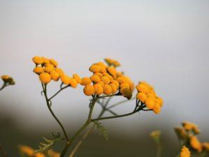 helicrysum italicum zur Gewinnung von Immortelle bio (helicrysum italicum)