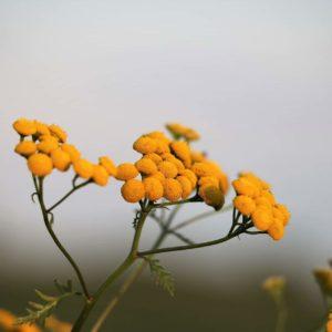helicrysum italicum zur Gewinnung von Immortelle bio (Helichrysum italicum)