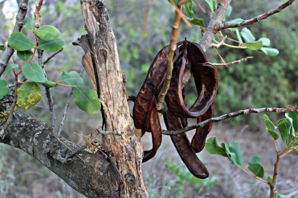 Frucht am Johannisbrotbaum zur Herstellung von Johannisbrotbaum Oleoresin 50% (Alkoholverdünnung)