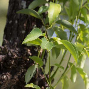 Zweig des Kapferbaumes zur Gewinnung von Kampfer (Campher) ätherisches Öl