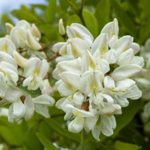 Akazienblüten wild zur Herstellung von Akazienblüten (Acacia farnesiana) 40% Alkoholverdünnung