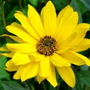 Arnika Blüte zur Herstellung von Arnikaöl 20% (Alkoholverdünnung)