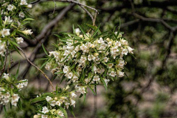 Falsches Sandeholz zur Gewinnung von Buddha Wood Öl (Eremophila mitchellii)