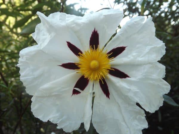 Cistus Blüte weiß zur Gewinnung von Cistrose bio (ätherisches Öl)