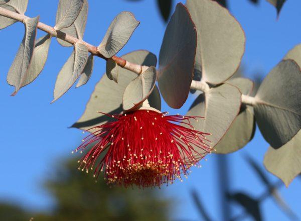 Eukalyptus mit Blüte zur Gewinnung von Eukalyptus polybractea cryptone bio (ätherisches Öl)