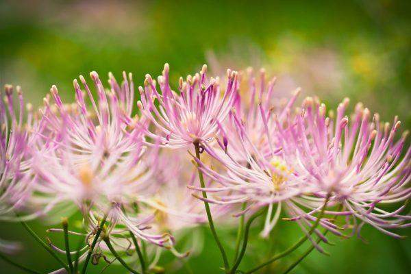Indianernessel rosa Blüten zu Gewinnung von Indianernessel ct geraniol (ätherisches Öl)