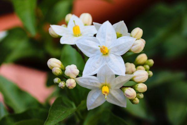 Jasminblüte zur Herstellung von Jasmin Grand Cru absolue 10% (Jojobaöl-Verdünnung)