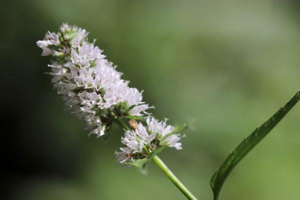 Minzblüte zur Gewinnung von Balm Mint Bush - Prostanthero melissifolia (ätherisches Öl)