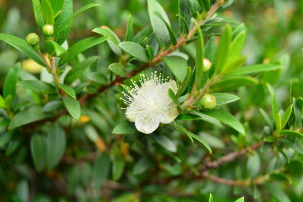 Myrte Zweig mit Blättern und Blüte zur Gewinnung von Myrte grün bio (ätherisches Öl)