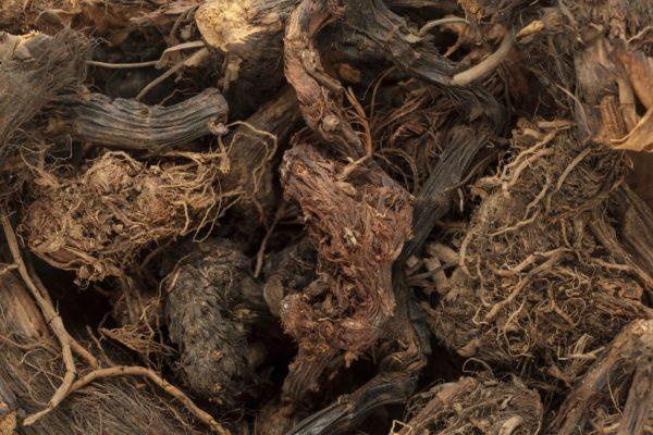 Spikenardwurzeln zur Gewinnung von Narde Himalaya bio (ätherisches Öl)