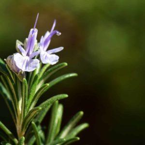 Rosmarin mit Blüte zur Gewinnung von Rosmarin verbenon bio (ätherisches Öl)