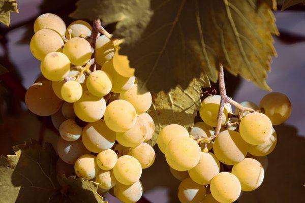 Weintraube weiss zur Gewinnung von Weinbeere weiß - Vitis vinifera (ätherisches Öl)