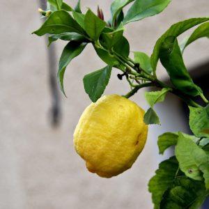 Aus den Blättern des Zitronenbaumes wird Petit Grain Zitrone (ätherisches Öl) gewonnen.