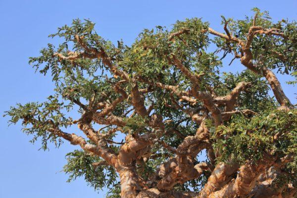 Weihrauchöl: Boswellia - frankincense treezur Gewinnung von Weihrauch bio (Boswellia carterii) ätherisches Öl