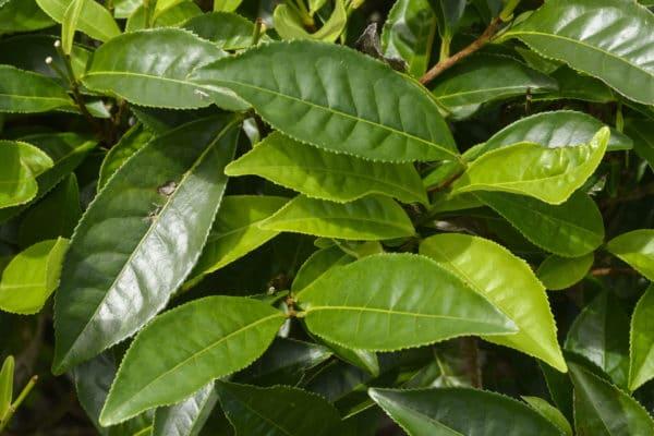Blätter der camellia sinensis zur Herstellung von Tee schwarz Resinoid 50% (Alkoholverdünnung)