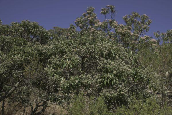 Candeiabäume in Brasilien zur Gewinnung von Candeia - Combara - vanillosmopsis erythropappa (ätherisches Öl)