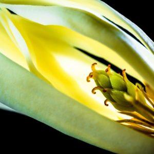 Champaca Blüte zur Herstellung von Champaca rot absolue 20% (Alkoholverdünnung)