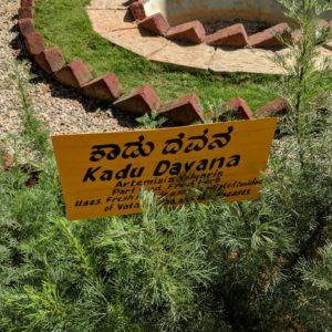 Kadu-Davana zur Gewinnung von Davanaöl bio (ätherisches Öl)