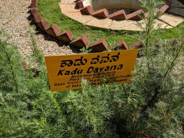 Kadu-Davana zur Gewinnung von Davana bio (ätherisches Öl)