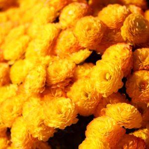 Everlasting zur Gewinnung von Helichrysum Gymnocephalum bio (ätherisches Öl)