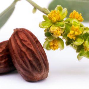 Jojoba,(simmondsia,Chinensis) zur Gewinnung von Jojoba,(simmondsia,Chinensis)