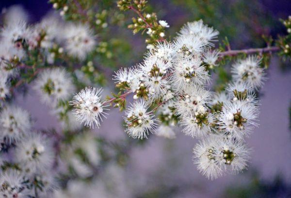Weie, australische Kunzea ambigua zur Gewinnung von Kunzea (ätherisches Öl)