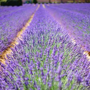 Lavendel hybrida zur Gewinnung von Lavandin super bio (ätherisches Öl)